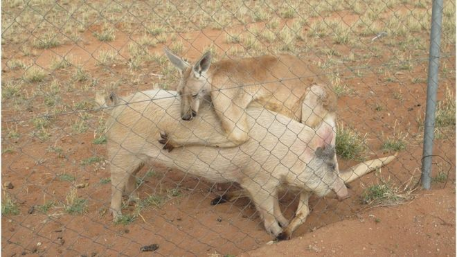 Animal Love Match: Kangaroo vs Pig