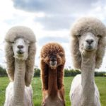 Great Moments in Haircuts: Llamas